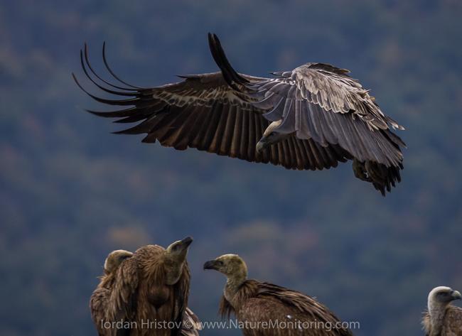Griffon_Vulture_photography_Bulgaria_Iordan_Hristov_web-1537