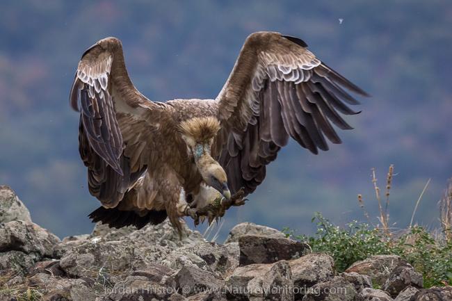 Griffon_Vulture_photography_Bulgaria_Iordan_Hristov_web-1594