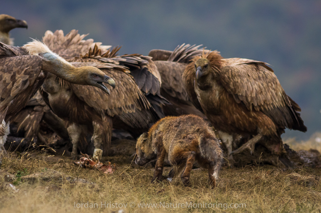 Griffon_Vulture_photography_Bulgaria_Iordan_Hristov_web-1722