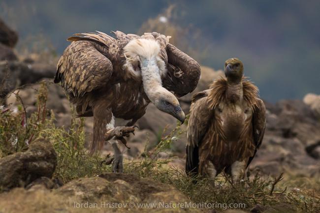 Griffon_Vulture_photography_Bulgaria_Iordan_Hristov_web-1748