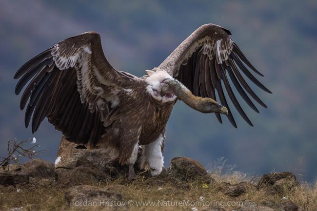Griffon_Vulture_photography_Bulgaria_Iordan_Hristov_web-1810