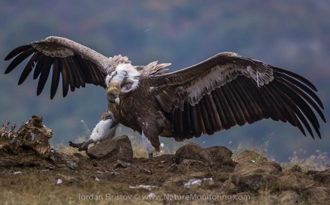 Griffon_Vulture_photography_Bulgaria_Iordan_Hristov_web-1846