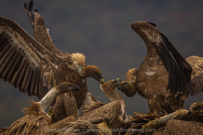 Griffon_Vulture_photography_Bulgaria_Iordan_Hristov_web-9992
