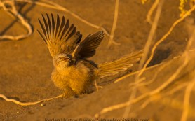 Arabian Babbler Turdoides squamiceps
