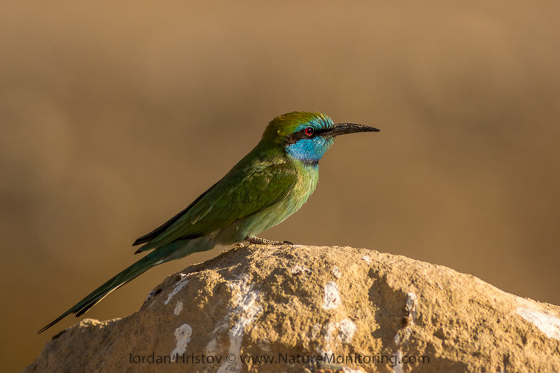 Little Green Bee-eater Merops orientalis