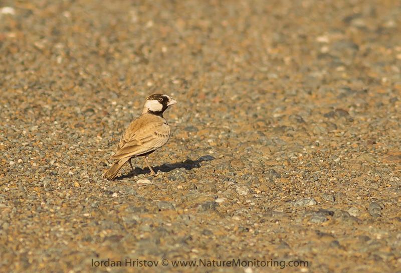 birdwatching_trip_Oman_Iordan_Hristov-4243