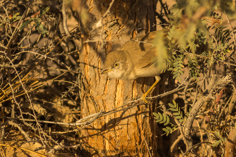 African Desert Warbler Sylvia deserti