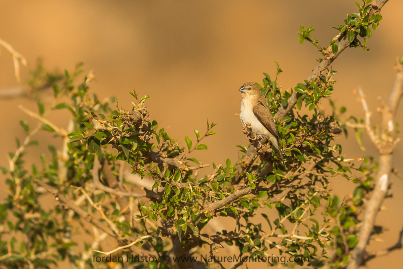 African Silverbill Lonchura cantans