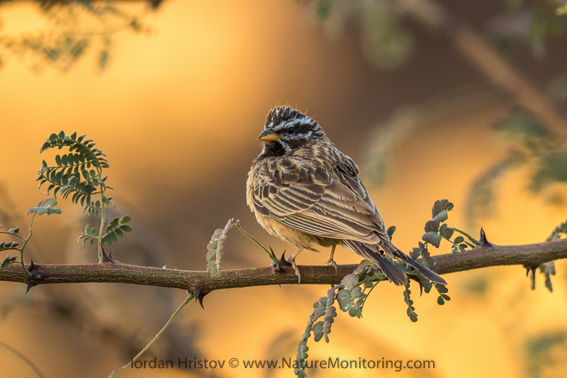 Cinnamon-breasted Rock Bunting Emberiza tahapisi