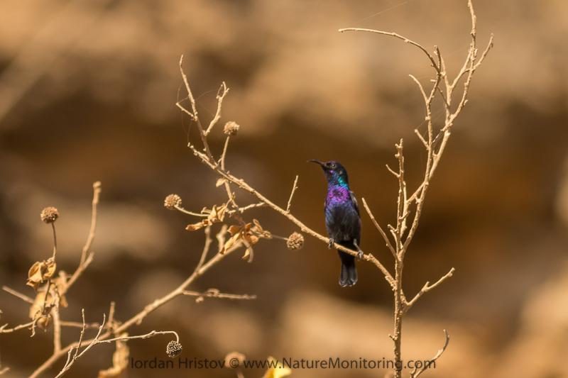 Palestine Sunbird Cinnyris osea