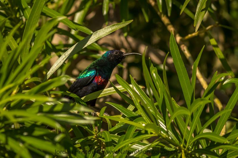 Shining sunbird Cinnyris habessinicus