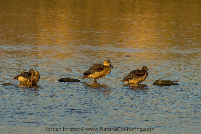 Lesser Whistling Duck in Oman