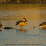 Lesser whistling duck in Oman: day 12, 15.12.2014