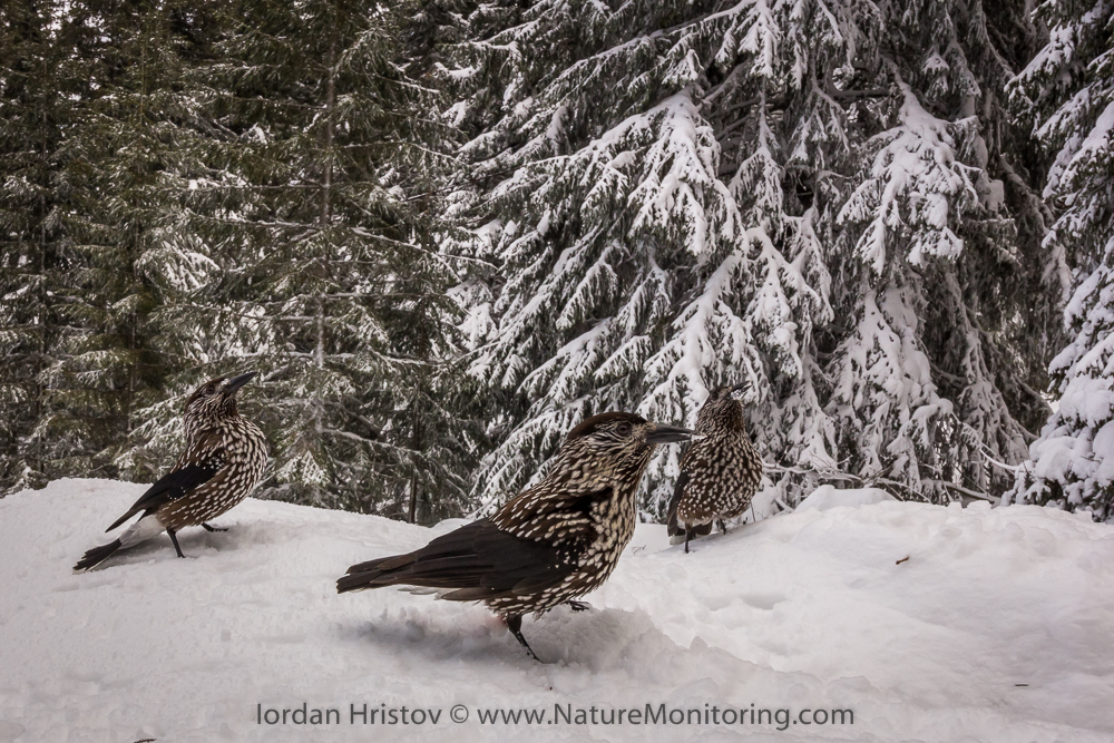 wide angle Spotted Nutcracker pictures
