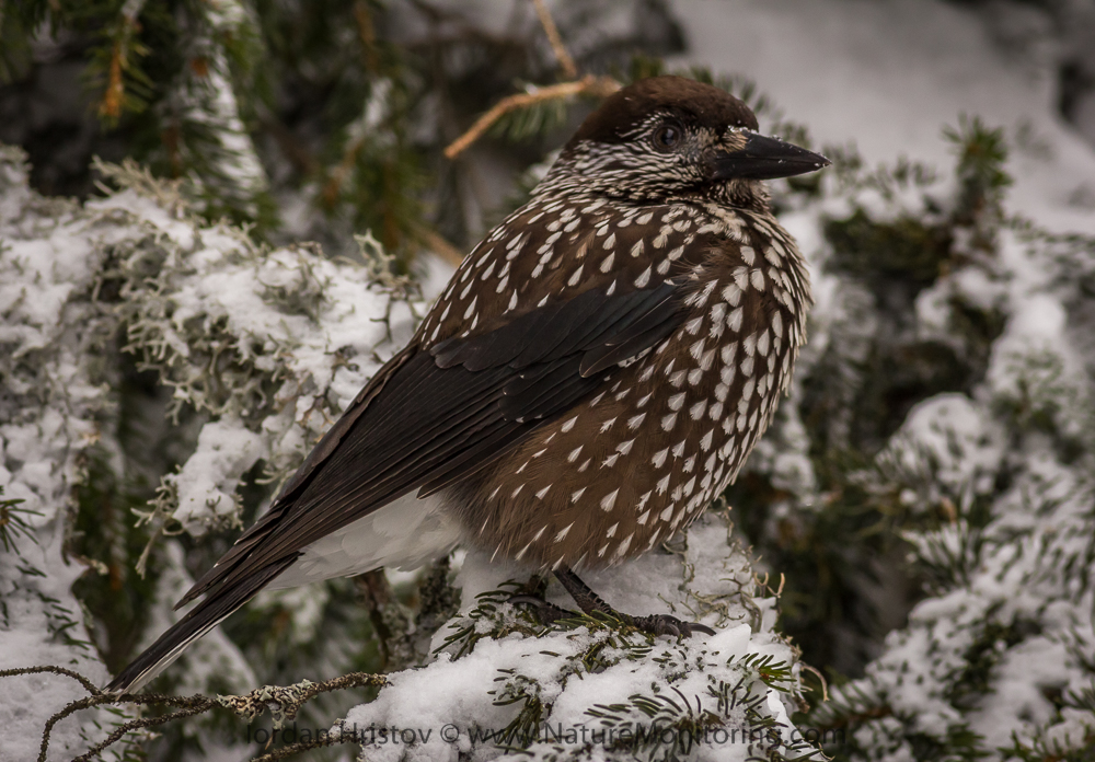 classic Spotted Nutcracker image