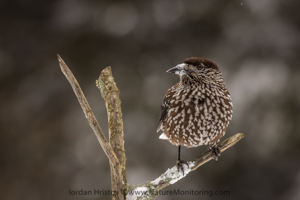 Spotted Nutcracker image