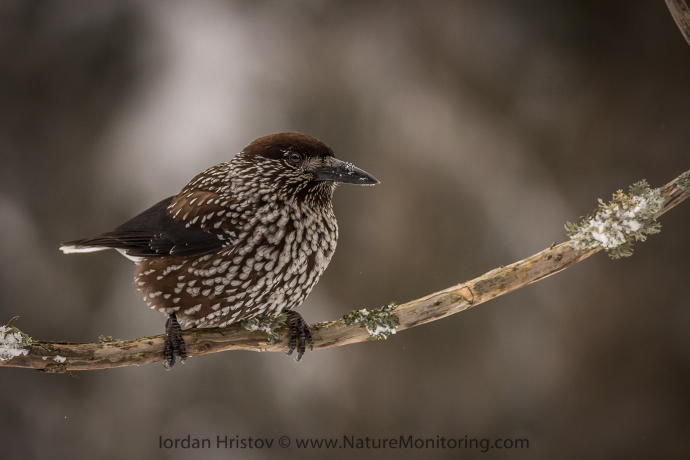 Spotted Nutcracker picture