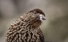 Spotted Nutcracker close up