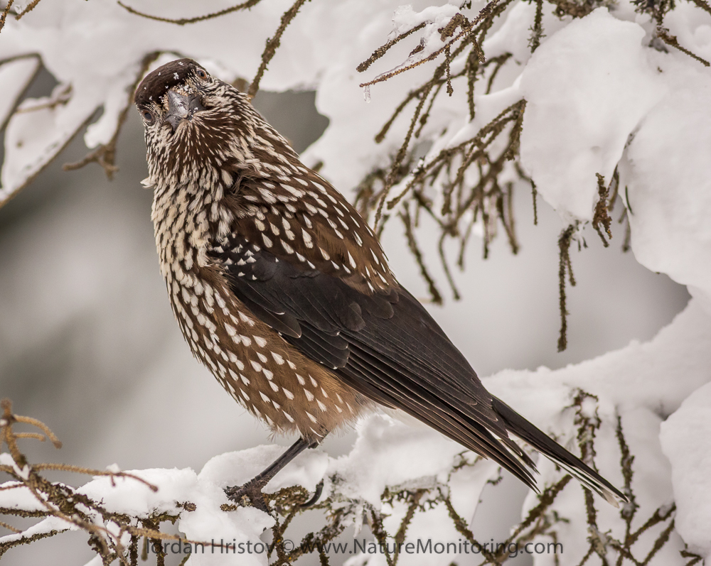 Spotted Nutcracker peculiarity