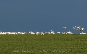 Bewick's and Whooper Swans