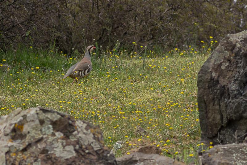 bird identification, Chukar, image: Iordan Hristov