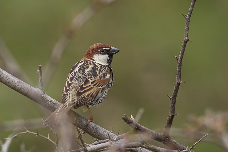 Spanish Sparrow, image: Iordan Hristov
