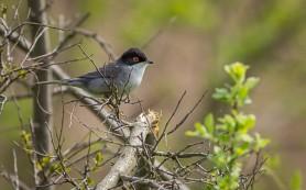 Sardinian Warbler, image: Iordan Hristov
