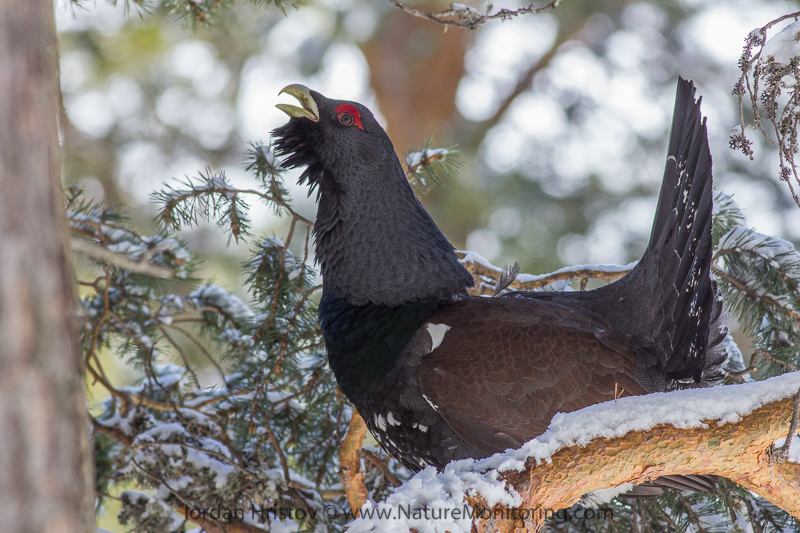 picture of Capercaillie on a tree