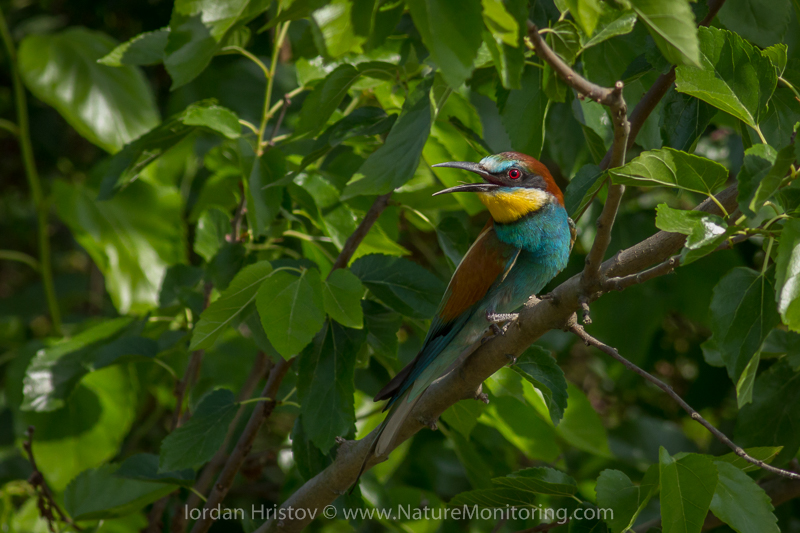 Bee-eater © Iordan Hristov