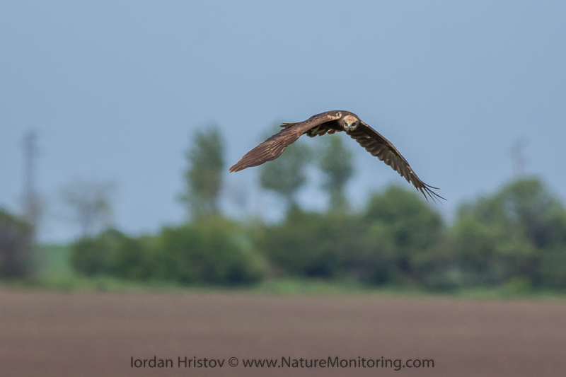 Marsh Harrier © Iordan Hristov