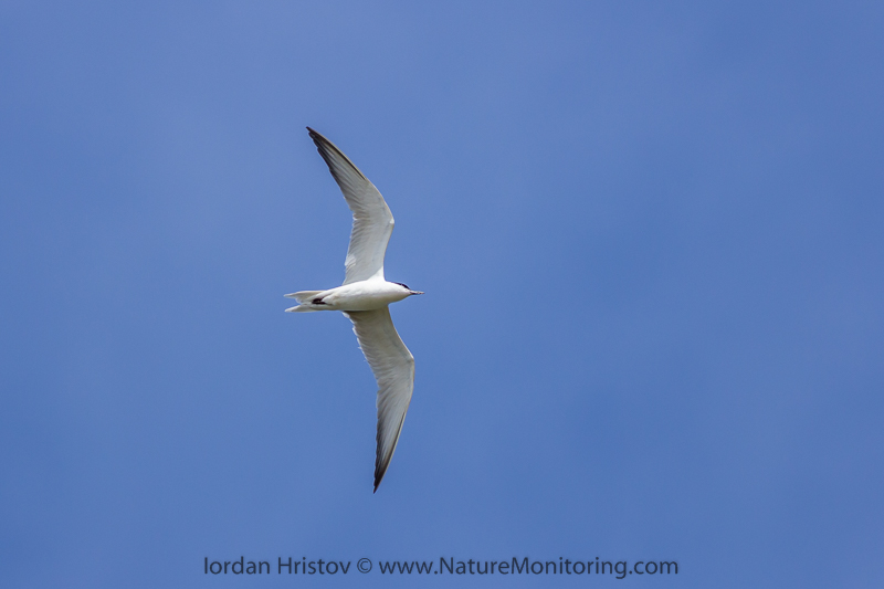 Gull-billed Tern © Iordan Hristov