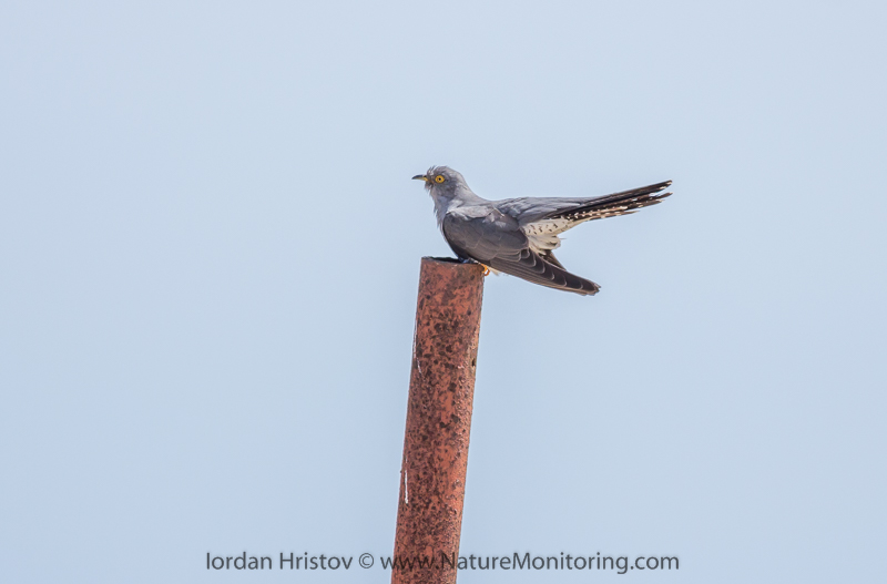 Cuckoo © Iordan Hristov