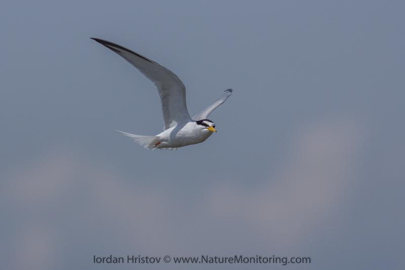 Little Tern © Iordan Hristov