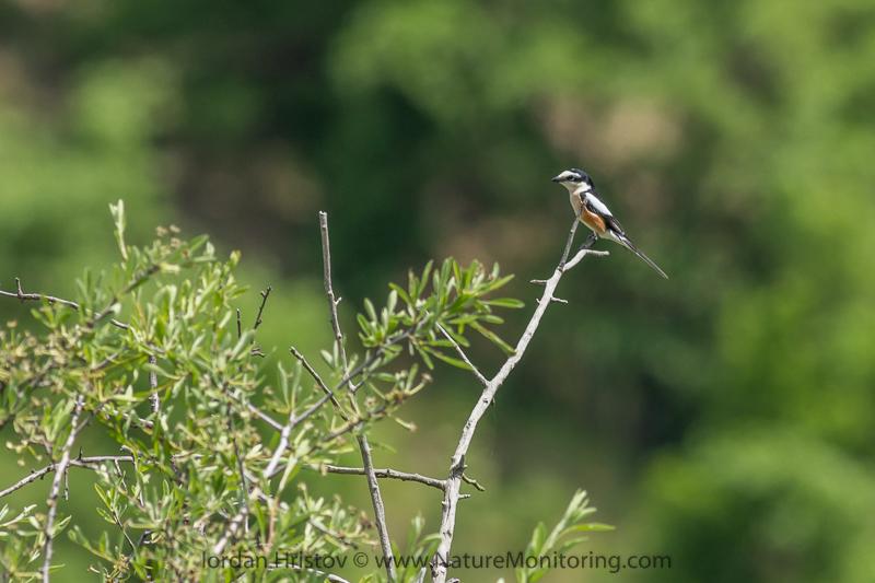 Masked Shrike © Iordan Hristov