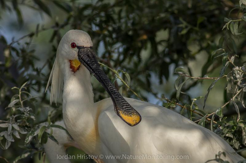 Spoonbill, birdid weekend