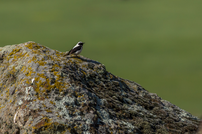 Black-eared Wheatear © Iordan Hristov