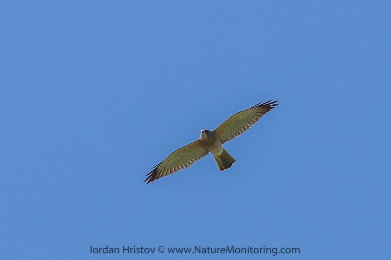 Levant Sparrowhawk © Iordan Hristov