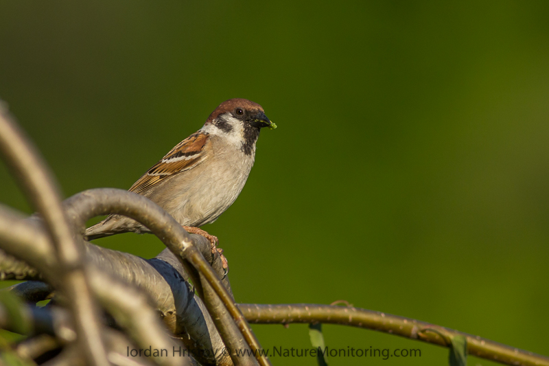 Tree Sparrow © Iordan Hristov