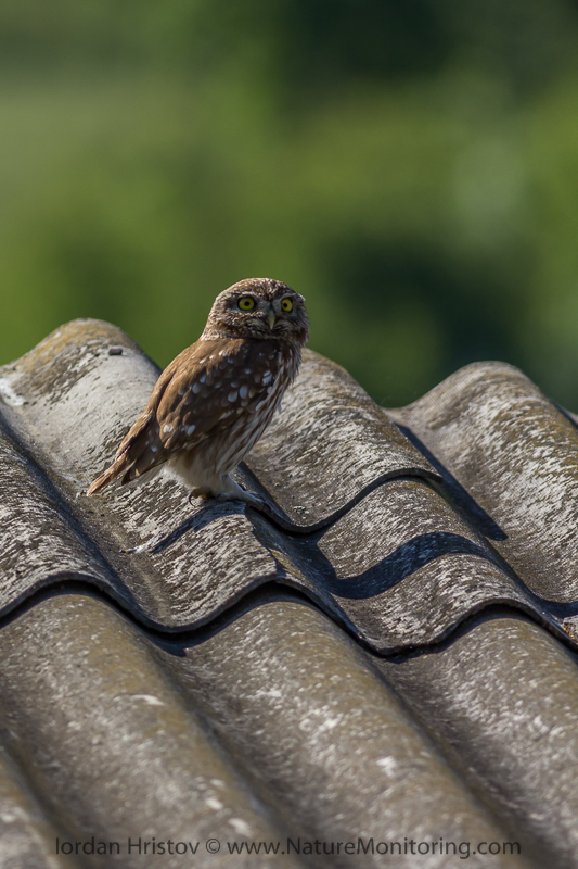 Little Owl © Iordan Hristov
