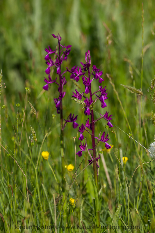 Orchis morio © Iordan Hristov
