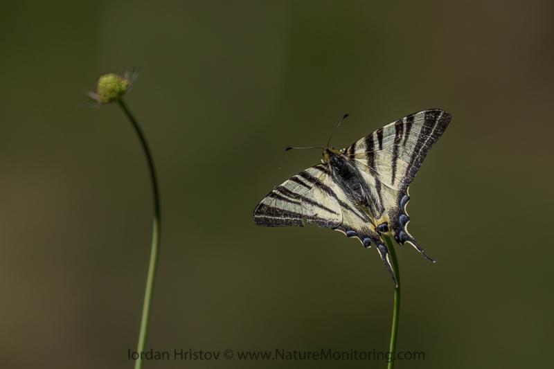 Scarce Swallowtail butterfly © Iordan Hristov