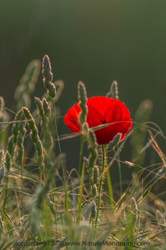 poppy flower © Iordan Hristov