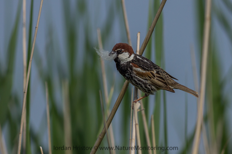 Spanish Sparrow  © Iordan Hristov