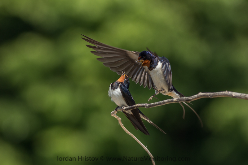 Barn Swallows © Iordan Hristov