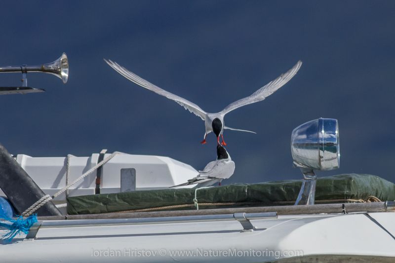 Arctic Tern dispute  © Iordan Hristov