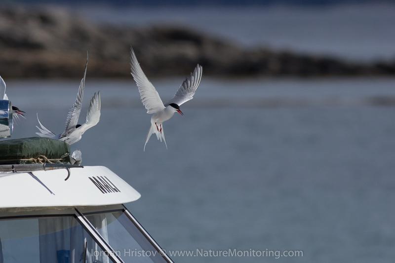 Arctic tern in the air © Iordan Hristov
