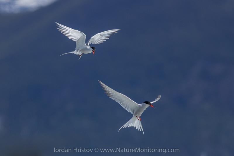 Arctic tern maneuverability © Iordan Hristov