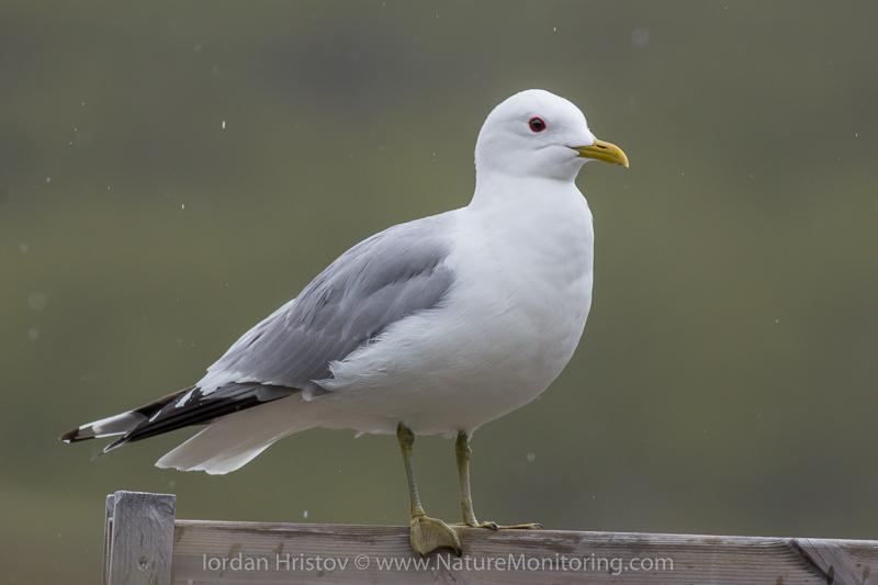 Common Gull © Iordan Hristov
