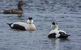 Eider Ducks © Iordan Hristov