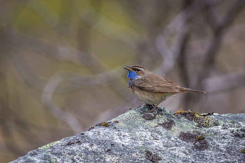 Bluethroat Luscinia svecica singing © Iordan Hristov